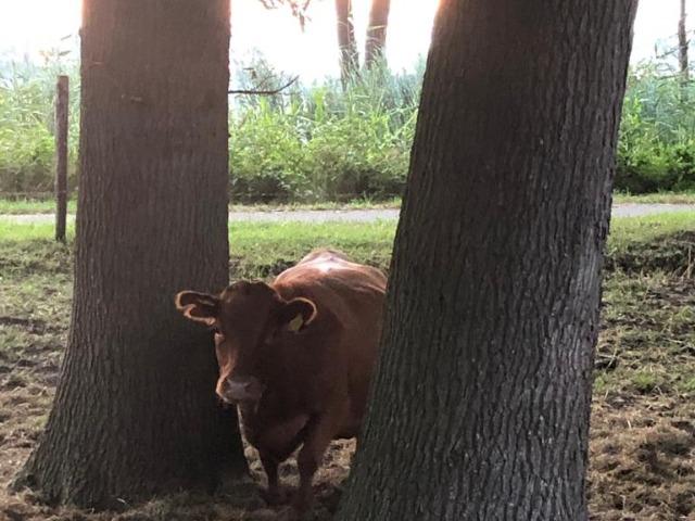 Bed and Breakfast Lettele Afbeelding koe tussen bomen, B&B Kanaalzicht Averlinde