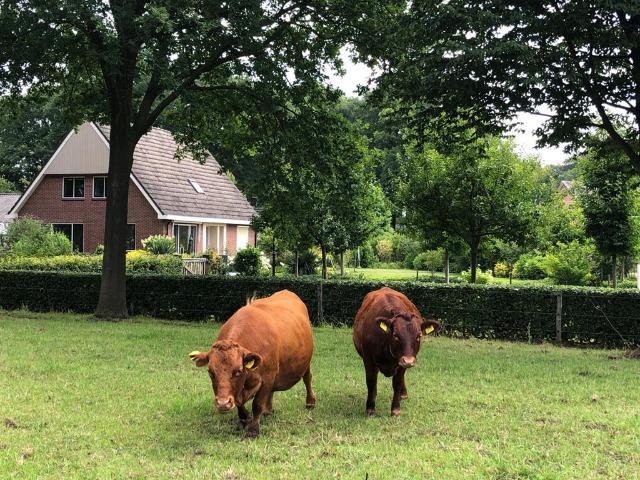 Bed and Breakfast Lettele Afbeelding koeien, weiland, huis, bungalow, bomen, gras, B&B Kanaalzicht Averlinde